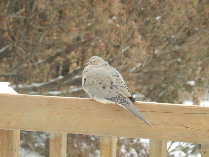 Has spring really come? Spring In Canada Animal Animal Themes Bird Close-up Dove - Bird No People One Animal
