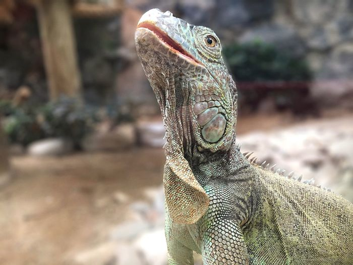 Animal Themes Animal One Animal Reptile Vertebrate Animal Wildlife Lizard Close-up Iguana Outdoors No People Nature Sunlight Focus On Foreground Animals In The Wild Animal Body Part