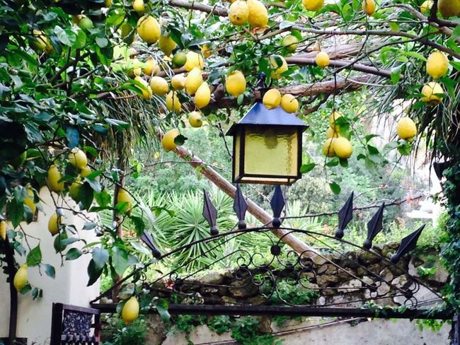 Almafi Coast Almaficoast Lemons Almafi Lemons Yellow Lemons Lemon Tree Lantern Lamp In A Tree Nature Beauty Of Nature Plant Tree Fruit Fruit Tree Italy