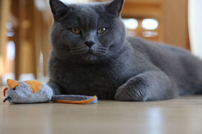 british shorthair cat lying on floor with toy mouse BKH Kater Britisch Kurzhaar Animal Themes Bkh British Shorthair British Shorthair Cat Close-up Day Domestic Animals Domestic Cat Feline Home Interior Indoors  Looking At Camera Mammal No People One Animal Pets Portrait Relaxation Sitting Toy Mouse Whisker