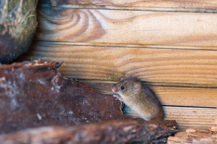 field mouse Wildlife Field Mouse Mouse One Animal Animals In The Wild Animal Themes Day Animal Wildlife No People Nature Close-up Outdoors