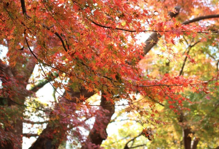 Autumn No People Tree Leaves Autumn Collection Orange Color Outdoors Japan