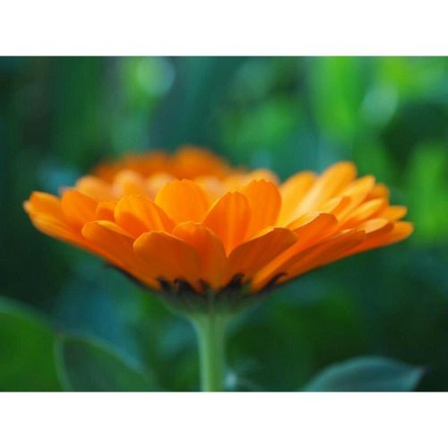 Mom 's Calendula in our Yard . Orange Flowers Parkroseoregon OlympusPenEpl1