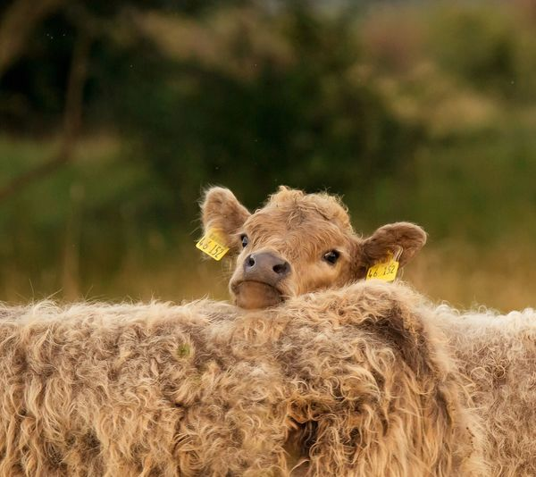 Galloway Baby Galloway Animals Animal Photography Love Sweet Kalb Calf EyeEm Gallery Photooftheday