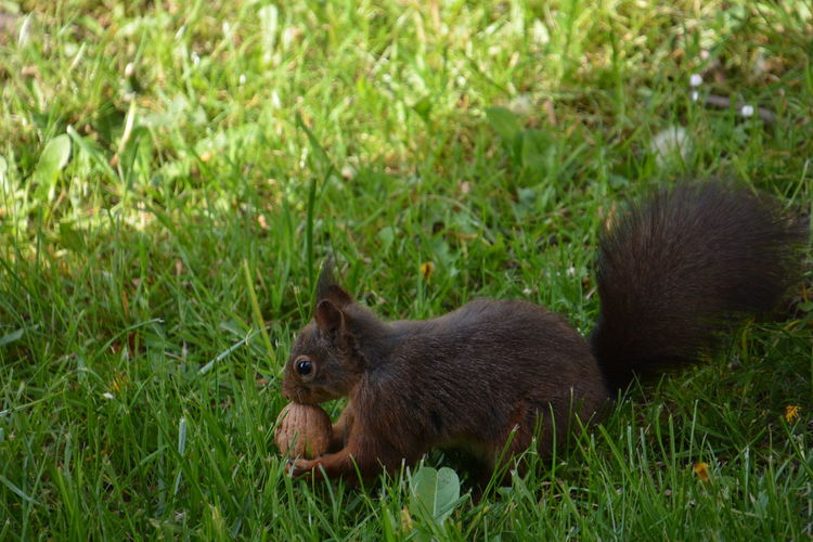 Squirrel Eichhörnchen Animals In The Wild Animal Themes Animal Animal Wildlife Grass Mammal Plant Green Color Vertebrate Land Field Nature No People One Animal Day Rodent Outdoors Focus On Foreground Young Animal Animal Family