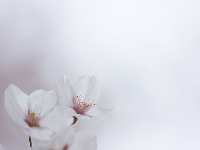 Beauty In Nature Blooming Blossom Botany Close-up Day Flower Flower Head Focus On Foreground Fragility Freshness Growth In Bloom Nature No People Outdoors Petal Plant Pollen Sky Softness Stamen Stem White White Color