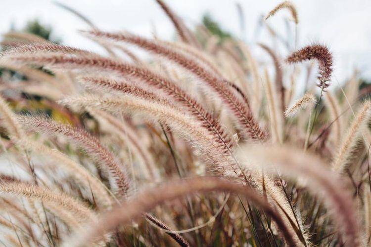 Macro shot of corn field
