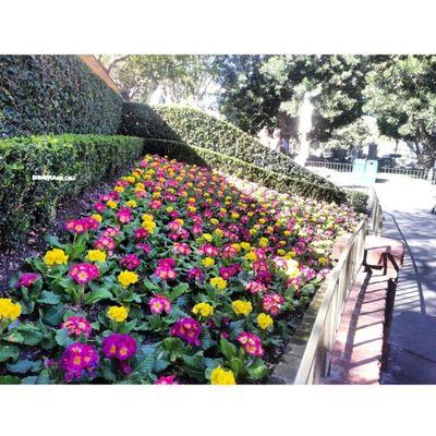 Flowers! :) Disneyland Disneycalifornia Disneyland_cali NewOrleanssquare flower Disney disneyrides :) there soo colorful!