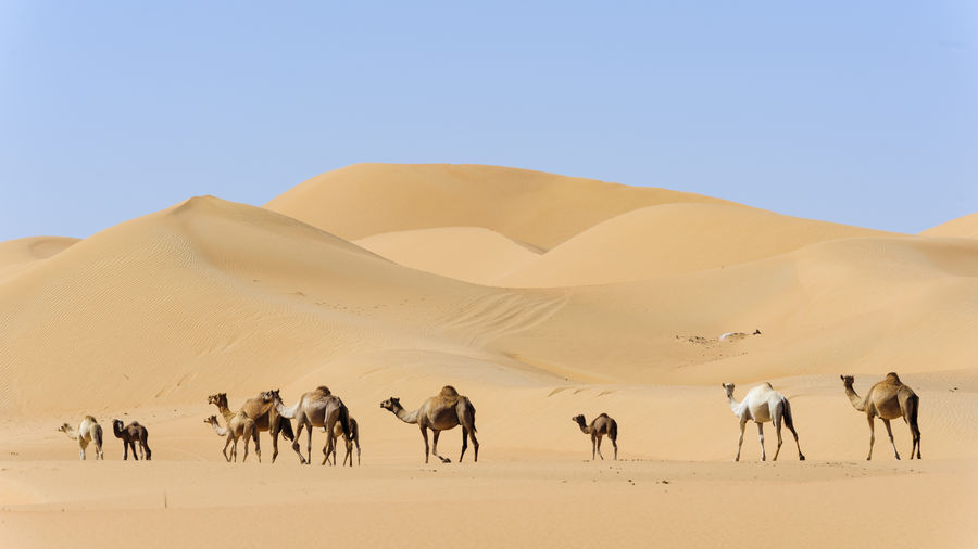 Camels In Desert Against Clear Sky