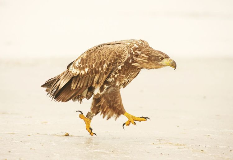 Close-up of white tailed eagle running