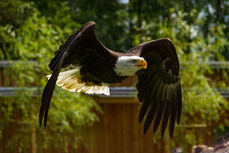 Close-Up Of Bald Eagle Flying Against Trees