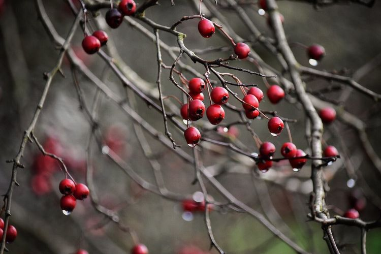 Fruit Red Growth Food And Drink Tree Nature Close-up Rose Hip Focus On Foreground Outdoors Berry Fruit Day No People Plant Freshness Beauty In Nature Food Rowanberry Outside Photography Outdoor Photography On A Walk Outside Rainy Days Water Droplets Wintertime