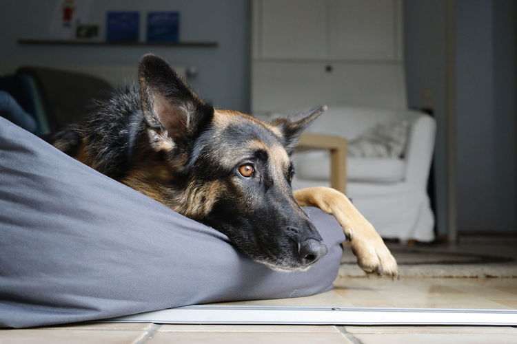 Close-up of dog resting on floor at home