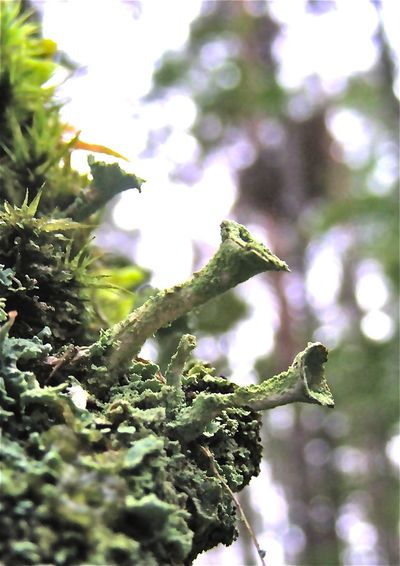 Beauty In Nature Cladonia Fimbriata Close-up Day Focus On Foreground Green Color Macro Moss Nature No People Plant Trumpet Lichen