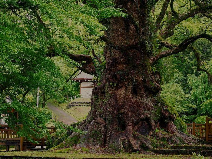 1500年もの間、この地に根付いた日本一の大楠の存在感に圧倒されます 。 Okusu Of Kamo Kamo Hatchiman Age Of A Tree 1500 Kamo City Kagoshima,japan 蒲生の大楠 蒲生八幡神社