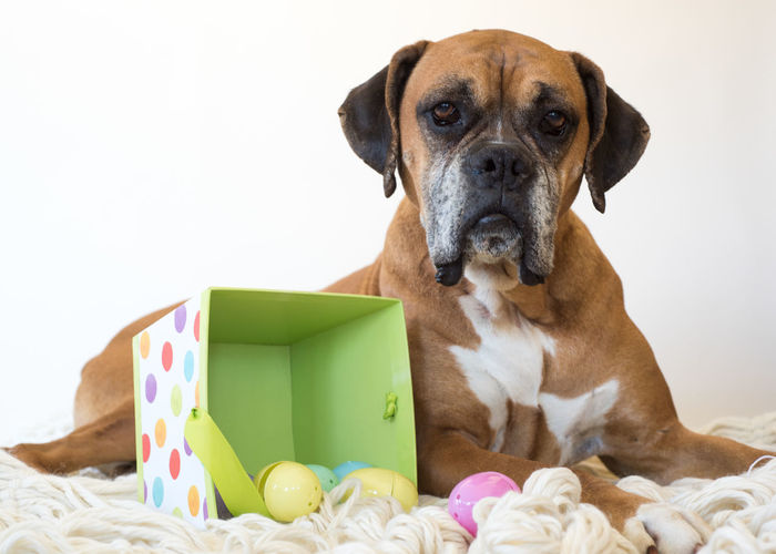 Portrait Of Boxer Dog Lying On Rug With Colorful Plastic Easter Eggs Against White Background