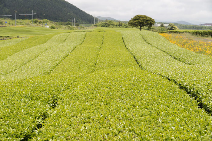 landscape of green tea field at Osulloc in Jeju Island, South Korea Agriculture Beauty In Nature Crop  Day Farm Field Freshness Green Color Green Tea Field Growth JEJU ISLAND  Landscape Nature No People Osulloc Outdoors Rural Scene Scenics Sky Tea Crop Tranquil Scene Tranquility