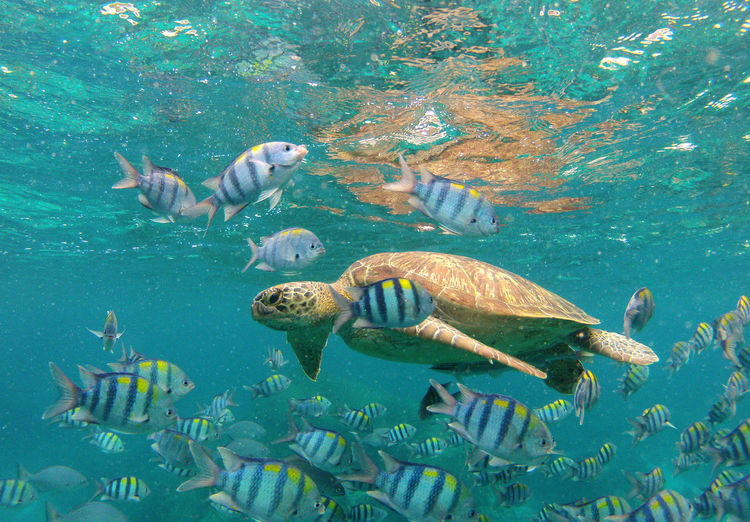 Sea turtle and fishes swimming in sea