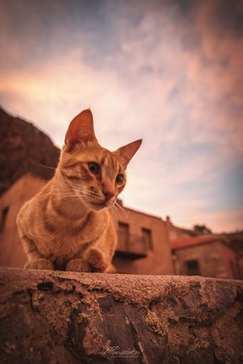 Monemvasía cat Monemvasia Greece Cat Animal Themes Animal Mammal One Animal Sky Vertebrate No People Cat Pets Domestic Animals Cloud - Sky Domestic Sitting Looking Away Looking Sunset Outdoors First Eyeem Photo