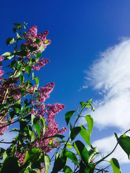 Flowers Bluesky Syringa Lilac Flower Garden Beauty In Nature Summer