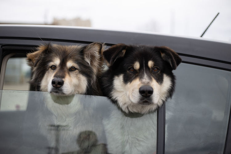 Two huskys looking out car window