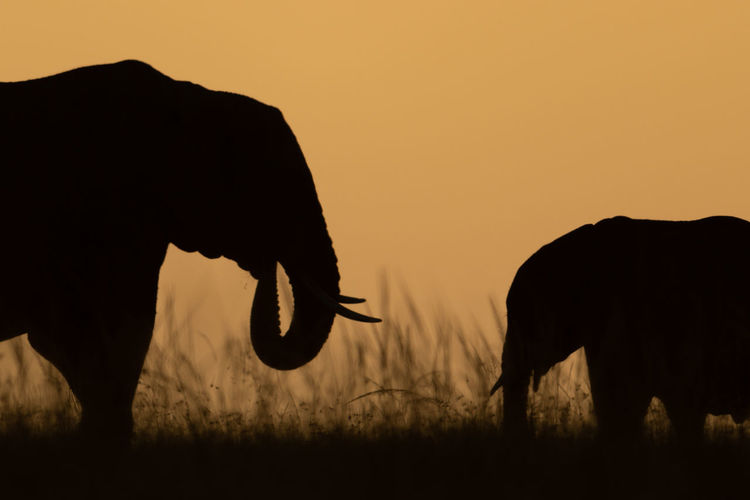 Close-up of african bush elephant and calf