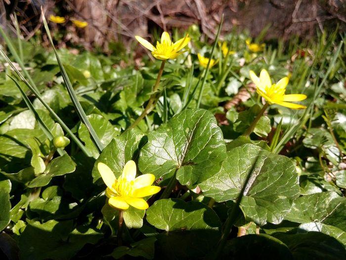 Flower Fleur ♡ Fleurs Printemps Nature Beauty Nature Fleur Beauty In Nature Jaune Jaune🌻 Yellow Flower Yellow Foret
