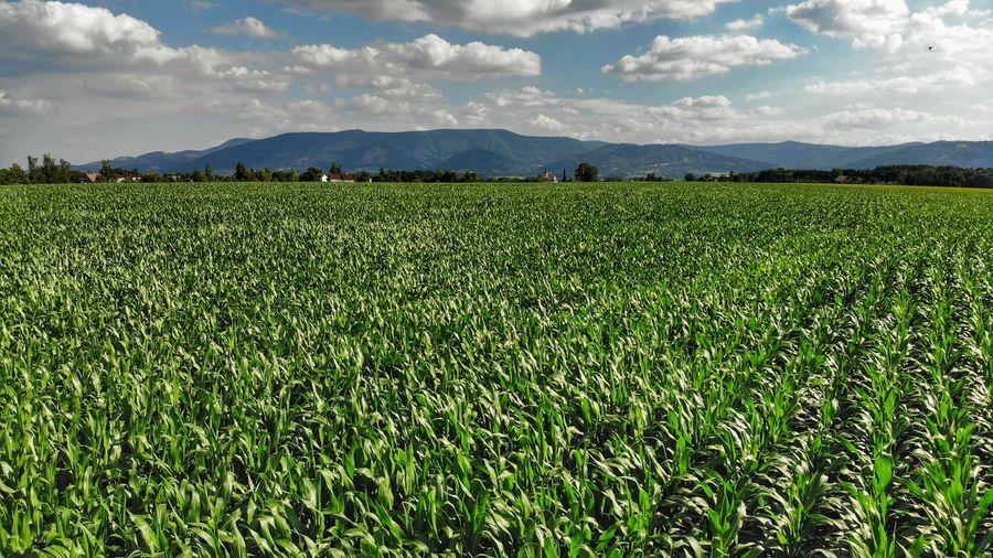 Rural Scene Tea Crop Agriculture Field Crop  Sky Landscape Cloud - Sky