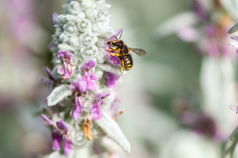 Wool-using bee (female) collecting pollen from Stachys byzantina... Invertebrate Insect Flowering Plant Animal Themes Flower Animal One Animal Animals In The Wild Animal Wildlife Bee Fragility Freshness Petal Vulnerability  Plant Beauty In Nature Pollination Close-up Growth Flower Head No People Purple Anthidium Manicatum Pink Color Pollen Summer Lambs Ear Wild Bee Wildbee Solitary Bee European Wool Carder Bee Stachys Byzantina Garden Flowers,Plants & Garden Wildlife & Nature Nature Photography Collecting Pollen Save The Bees