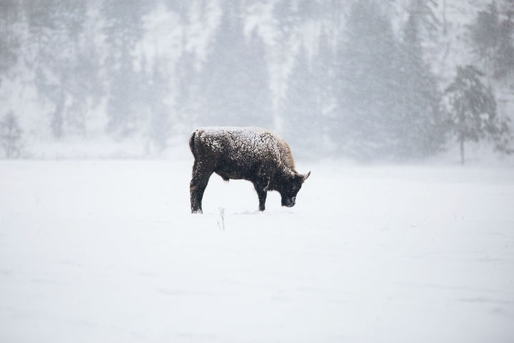Bison Standing On Field During Winter