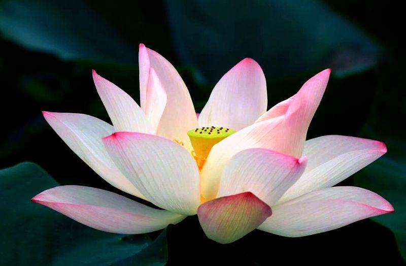 Lotus 🌸 荷.