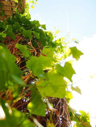 I V Y G O U R D Plant Life Ivy Gourd Coccinia Grandis Tree Branch Leaf Close-up Plant Green Color Sky Vine - Plant Botany
