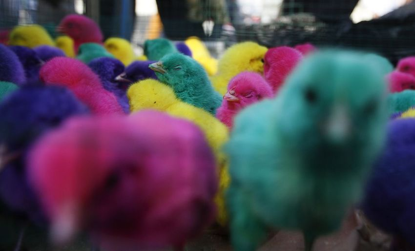 Colorful chickens in Indonesia. Multi Colored Selective Focus Day Close-up Pink Color Choice Variation In A Row No People Outdoors Art And Craft Market Retail  Representation Nature Abundance