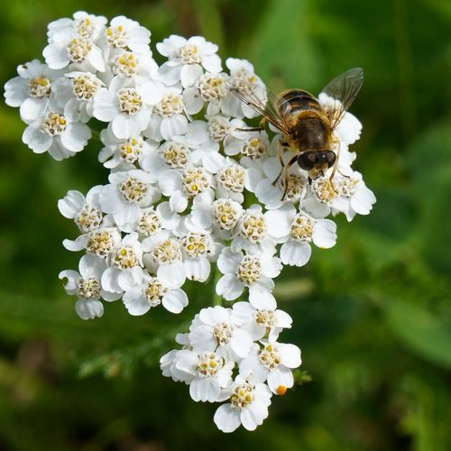 Animal Themes Animal Wildlife Animals In The Wild Beauty In Nature Bee Bumblebee Close-up Day EyeEmNewHere Flower Flower Head Fragility Freshness Growth Honey Bee Insect Nature No People One Animal Outdoors Plant Pollination Springtime Square White Color EyeEmNewHere