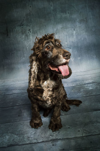 (c) www.michaelwipperfuerth.de Cockerspaniel Dramatic Sky Perspective Studio Animal Themes Brown Haired Cute Dog Domestic Animals Floor Grunge Indoors  Mammal Mood No People One Animal Pets Portrait