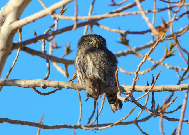 Dinner has arrived Pygmy Owl Perching One Animal Birds Of Prey Owls Mouse Animals In The Wild Branch Tree Bird No People Animal Wildlife Outdoors Bird Photography Prey Animal Hunting Utah