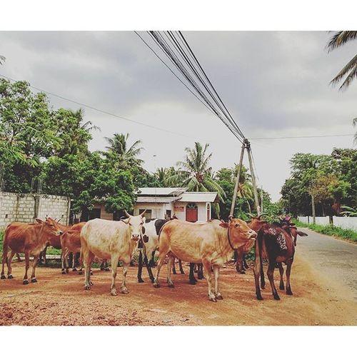 🐮~ Cow Anuradhapura SriLanka