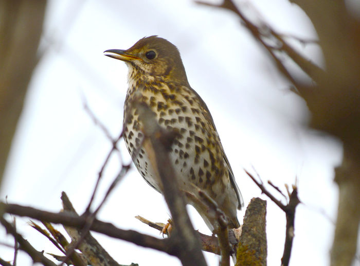 Song Thrush, turdus philomelos Song Thrush Turdus Philomelos Animal Themes Animal Wildlife Animals In The Wild Bird Branch Close-up Day Focus On Foreground Low Angle View Nature No People One Animal Outdoors Perching Robin Thrush Tree Turdus Philomelos Woodpecker