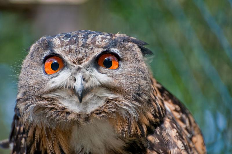 Close up of owl head