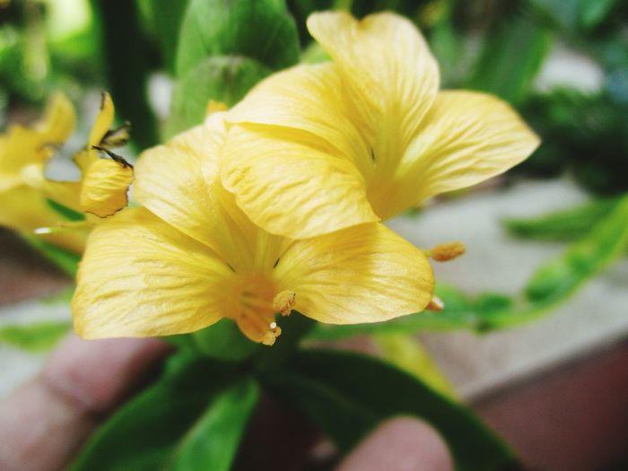 เสลดพังพอน Flower Beauty In Nature Plant Nature Flower_Collection Flower