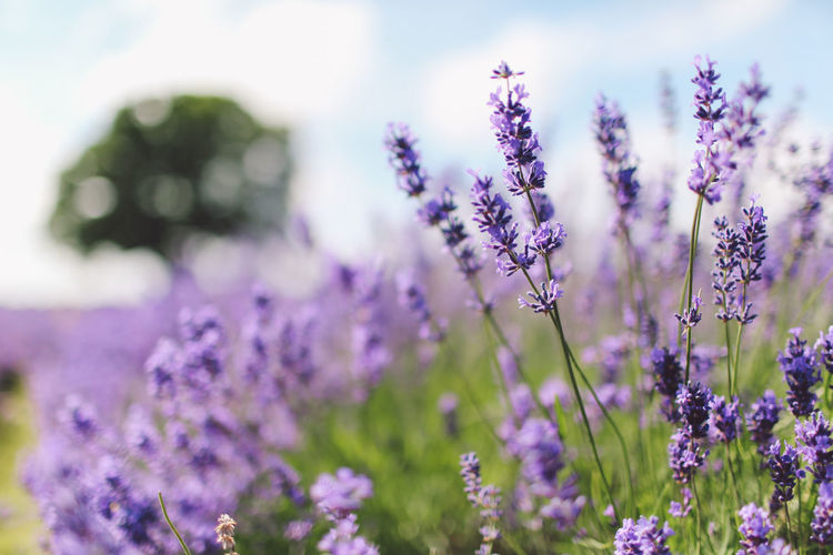 Beauty In Nature Blooming Blossom Botany Close-up Day Flower Flower Head Focus On Foreground Fragility Freshness Growth In Bloom Lavanda Lavander Lavander Flowers Lavanderfields Nature No People Outdoors Petal Plant Purple Selective Focus Stem