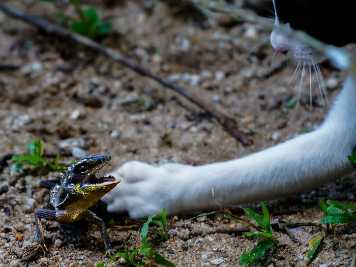 A lizard fight back when attack by a cat Animal Themes Animal Wildlife Animals In The Wild Attack Cat Close-up Day Fierce Focus On Foreground Lizard Nature No People Outdoors Reptile