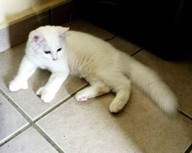 Puertorico Kanyn Angora Angoracat Catlovers Manosdegato Beautiful Gato Cat Cathands