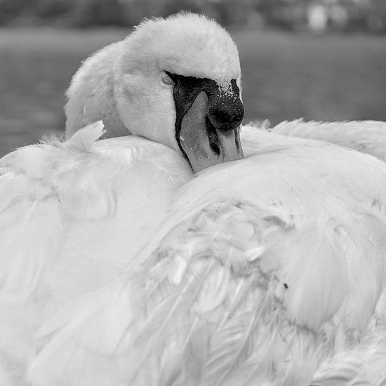 Sleeping swan Cigno Sleeping EyeEm Selects Bird Swan Water Swimming Pets Snow Dog Winter Cold Temperature Close-up Cygnet Young Bird Aquatic Mammal Duckling Animal Family White Swan