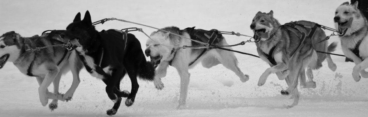 Dogs Running In Snow
