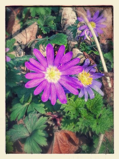 Flower Plant Fragility Nature Freshness Beauty In Nature Flower Head Growth Petal Purple Leaf Outdoors No People Blooming Day Close-up Purple Flowers With Filters Huawei P9 Plus Photography Made By Noesie EyeEmNewHere The Week On EyeEm