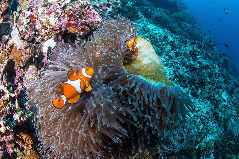 Clown Fish Uwphotography Clown Fish Underwater UnderSea Symbiotic Relationship Sea Coral Fish Sea Anemone Sea Life Nature