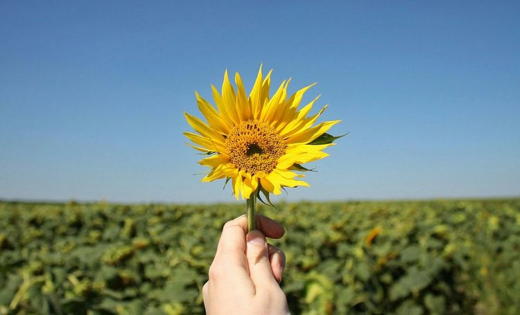 Sunflower Nature Field Ukraine