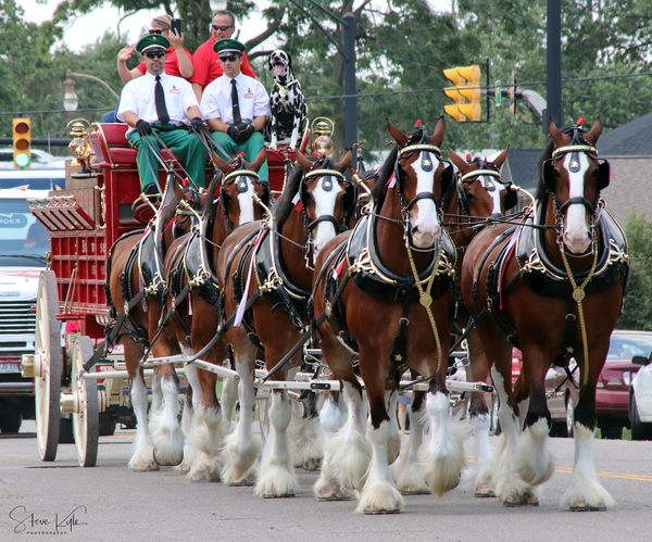 Anheuser-Busch Clydesdales Day Domestic Animals Horse Mammal Men Outdoors People Real People Tree