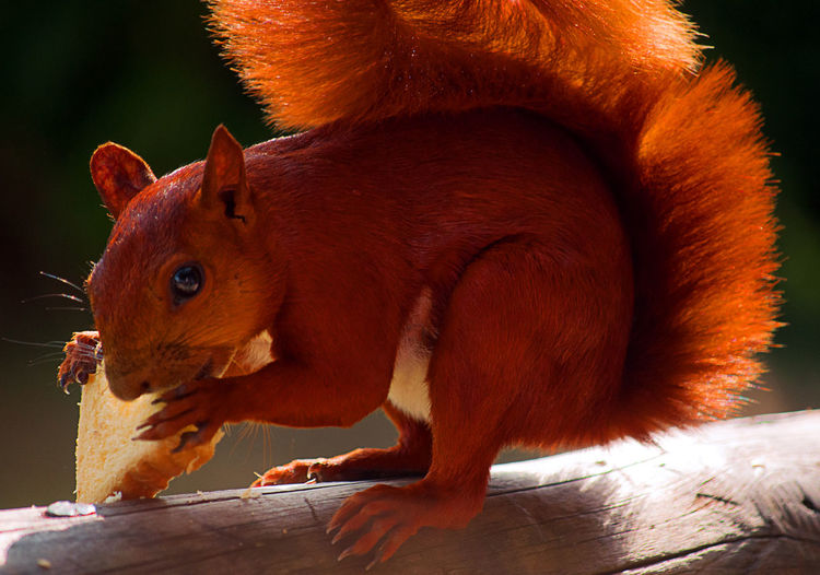 A red squirrel eating cornbread. Animal Animal Themes Bushy Close-up Cuddly Curious Cute Eating Fauna Fauna And Flora Fluffy Fur Furry Hairy  Mammal Nature Orange Color Outdoors Red Rodent Squirrel Wild Wildlife